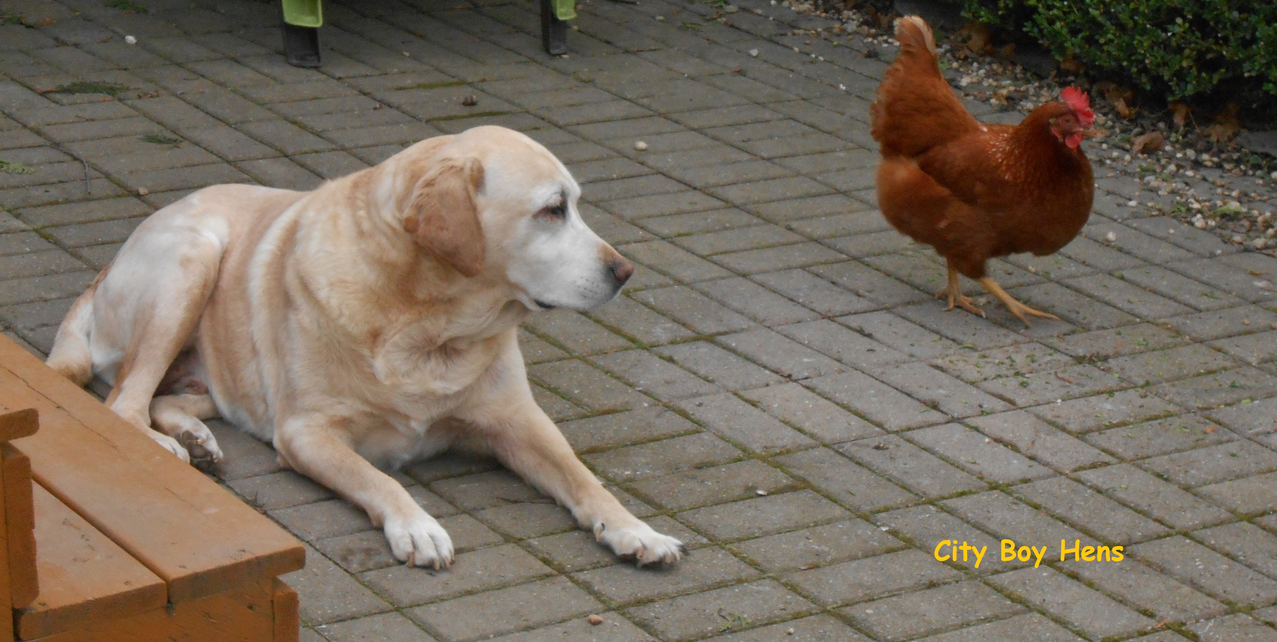 Training Your Dog With Chickens City Boy Hens