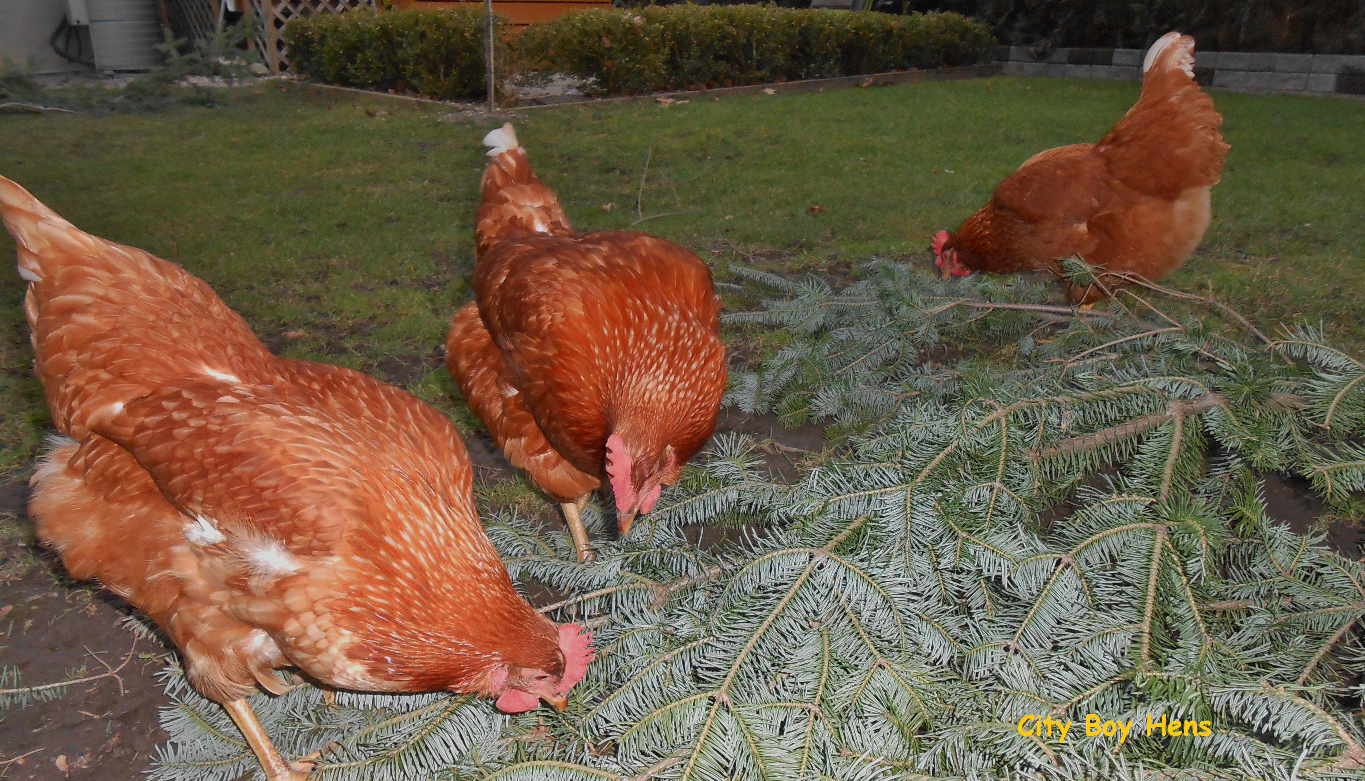 free ranging city boy hens