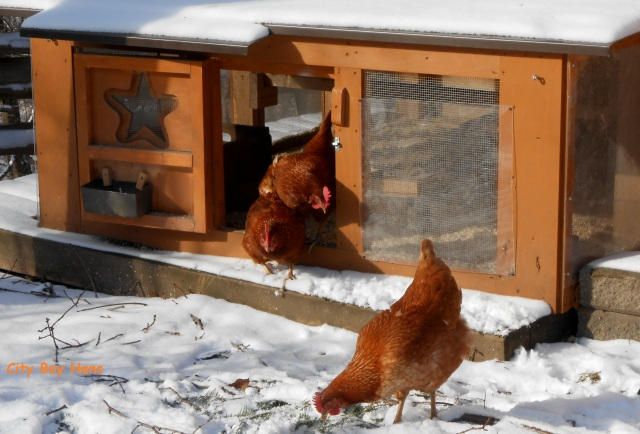 Backyard Chickens In Winter : Getting Your Backyard Chickens Ready For Winter  City Boy Hens