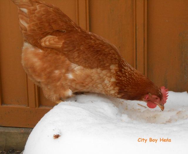 Chickens2 030